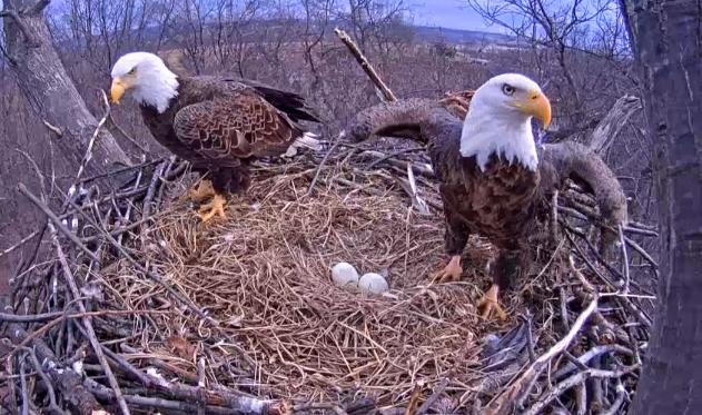 Hanover eagle cam 2020
