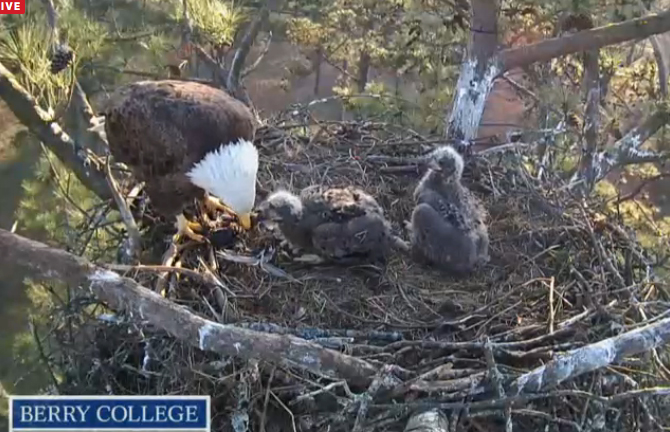 Eagle parent and chicks. Berry College