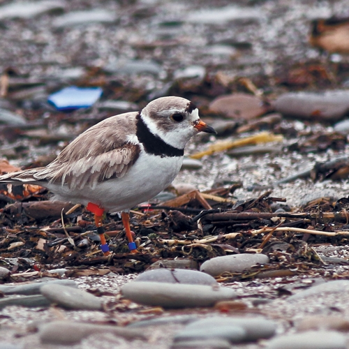 Plovers in Paradise by Mary Birdsong
