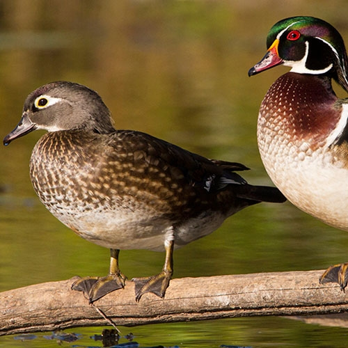 A Young Duck's Fancy by Mary Birdsong