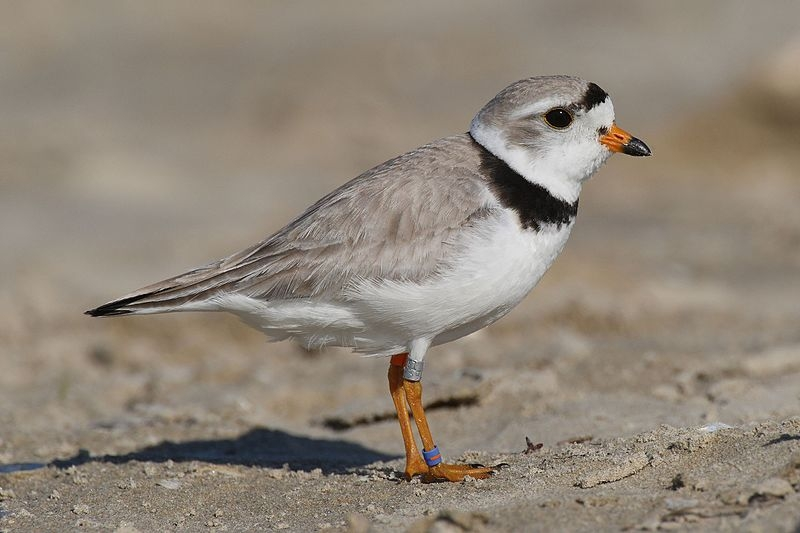 Piping Plover Returns to Erie after 50 years by